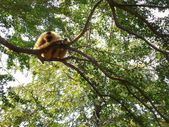 Gibbon — Stock Photo