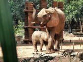 African elephant — Stok fotoğraf