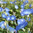 Blue morning glory flowers — Stock Photo #38906241