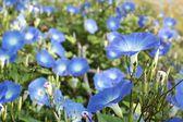 Blue morning glory flowers — Stock Photo