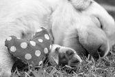 Sleeping labrador puppies on green grass — Foto Stock