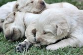 Sleeping labrador puppies on green grass — Stockfoto