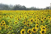 Field of blooming sunflowers — Stock Photo