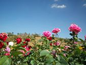 Rose flower blue sky — Stock fotografie