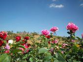 Rose flower blue sky — Stock Photo