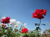 Rose flower blue sky — Stockfoto