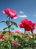 Rose flower blue sky — Stock Photo