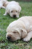 Sleeping labrador puppies on green grass — Zdjęcie stockowe