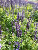 紫サルビアの花 — ストック写真
