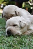 Sleeping labrador puppies on green grass — ストック写真
