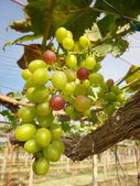 Grapes with green leaves — Stock Photo