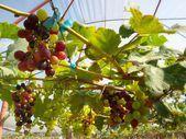 виноград с зелеными листьями — Стоковое фото