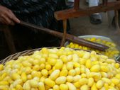 Yellow cocoon silkworm — Stock Photo