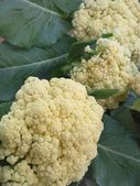 Cauliflower in vegetable garden — Stock Photo