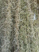 Spanish Moss — Stock Photo