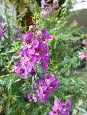 Flores de salvia púrpura — Foto de Stock