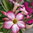 Stock Photo: Impallily adenium