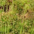 Sedge flowers — Stock Photo #40444895