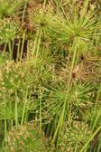 Sedge flowers — 图库照片