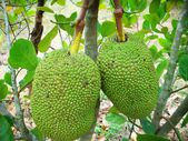 Jack fruit — Stock Photo