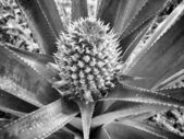 Pineapple tree — Stock Photo