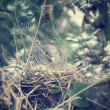 Pigeon in a nest . — Stock Photo