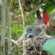 Pigeon in a nest — Stock Photo