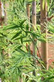 Bamboo — 图库照片