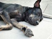 Close up of sleeping dog — Stock Photo
