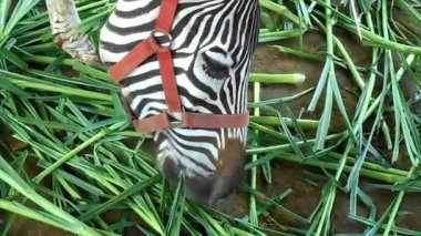 Zebra grazing — Stock Video