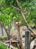 Jaguar tiger  — Stock Photo