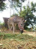 Zebra comendo grama — Fotografia Stock