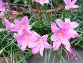 petunias flower — Stock Photo