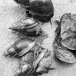 Black and white snail — Stock Photo #46633215
