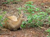 Cervo sika — Foto Stock