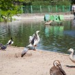 Foto de Stock  : Ducks and geese