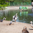 Foto Stock: Ducks and geese