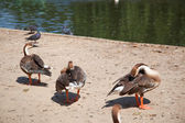 Geese in zoo — Stock Photo