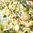 Pears on a tree branch — Stock Photo