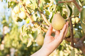 Woman harvesting pears on a tree branch — Stock Photo