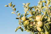 Fresh ripe green apples on tree — Stock Photo