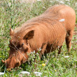 Stock Photo: Warthog