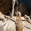 Portrait of a meerkat — Stock Photo