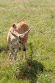 Young african antelope — Stock Photo