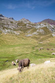 Cows grazing in the Hecho's Valley — Stock Photo
