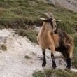 Mountain goat in Picos de Europa, Asturias - Stock Photo