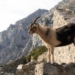 Mountain goat in Picos de Europa, Asturias — Stock Photo #24409295