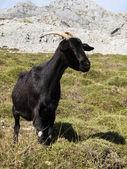 Mountain goat in Picos de Europa, Asturias — Foto Stock