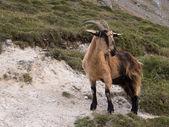 Mountain goat in Picos de Europa, Asturias — Stock Photo