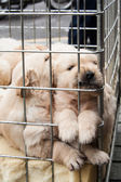 Puppies inside a cage for sale — Stock Photo